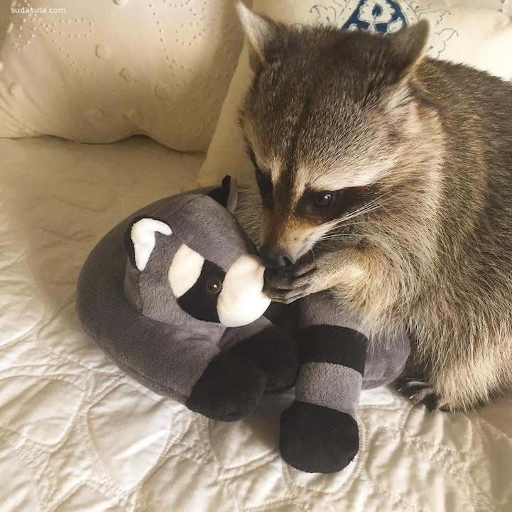 Pumpkin the Raccoon (5)