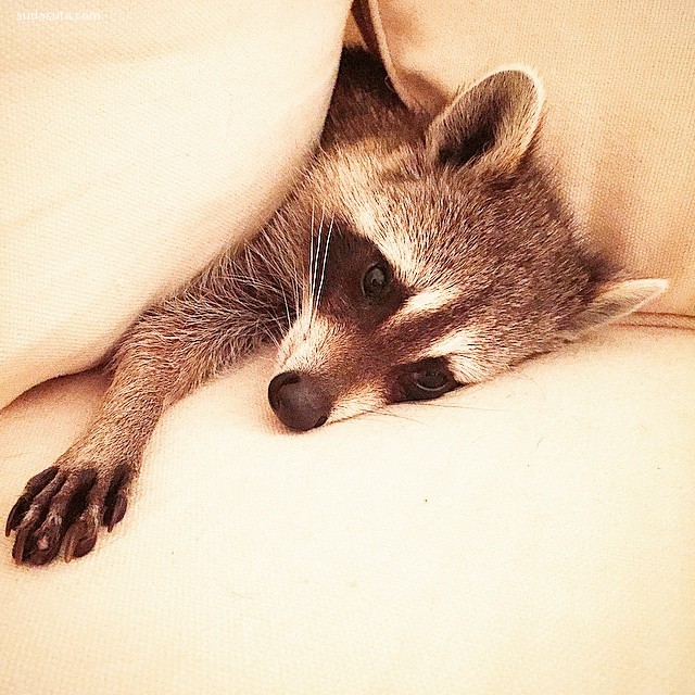Pumpkin the Raccoon (7)