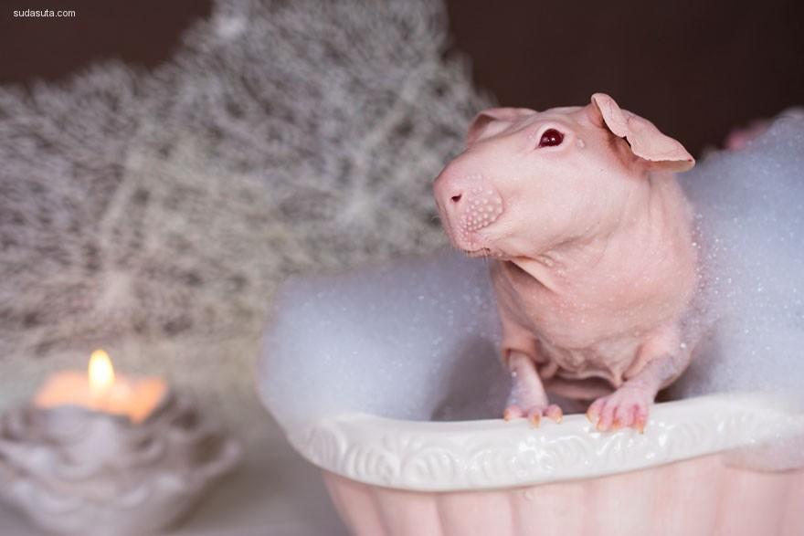 赤裸裸的豚鼠 粉红色的少女心