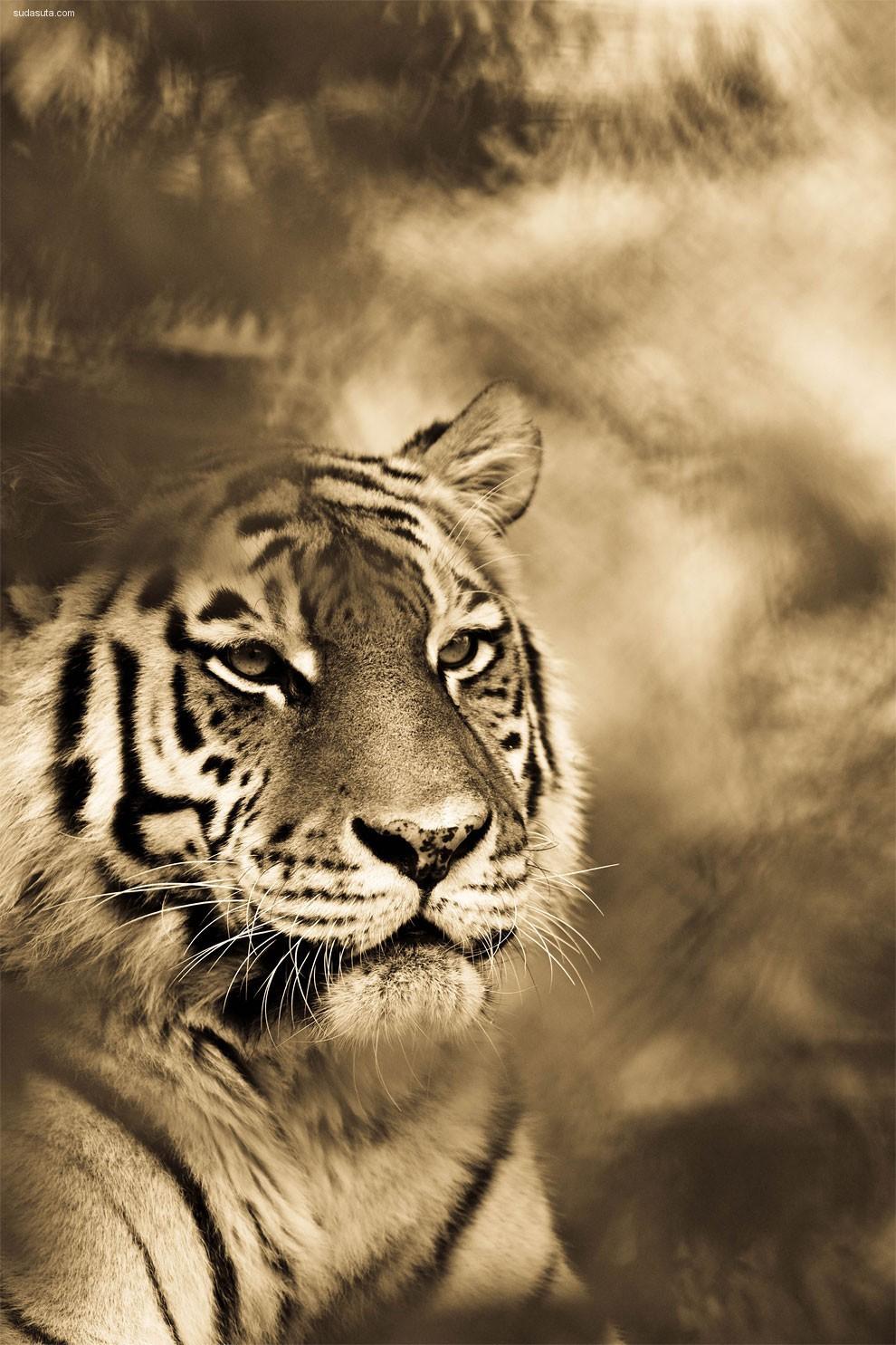 Goran Anastasovski 大猫 动物摄影欣赏