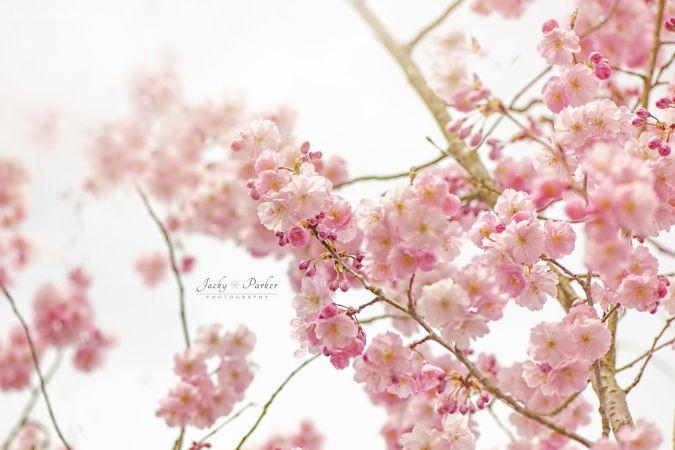 Jacky Parker 花,春日开