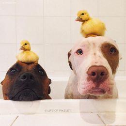 两只狗以及两只鸭子的温馨生活