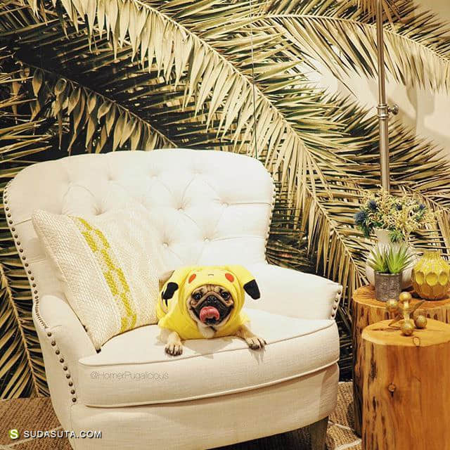 Homer Pugalicious 狗狗爱生活