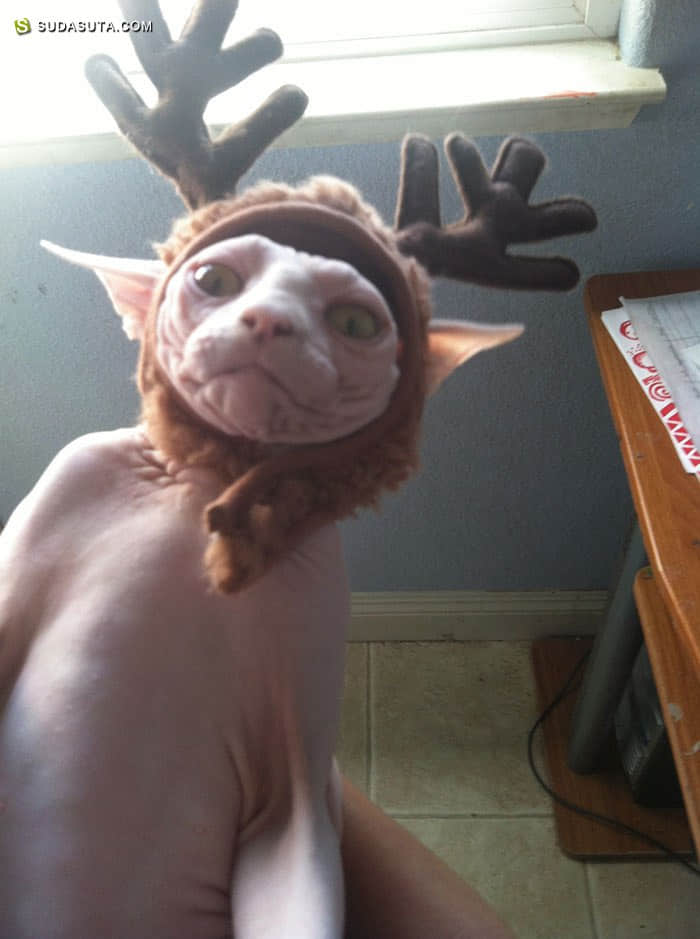 猫咪不爱圣诞节 主题摄影欣赏