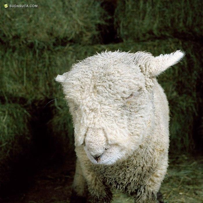 Rob MacInnis 农场动物摄影欣赏