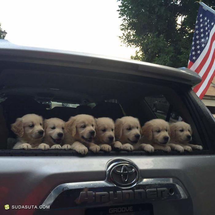 金毛小猎犬的幸福时光 宠物摄影欣赏