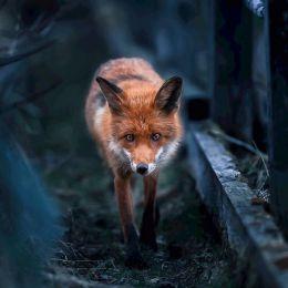 Ossi Saarinen 狐狸狐狸 自然摄影欣赏