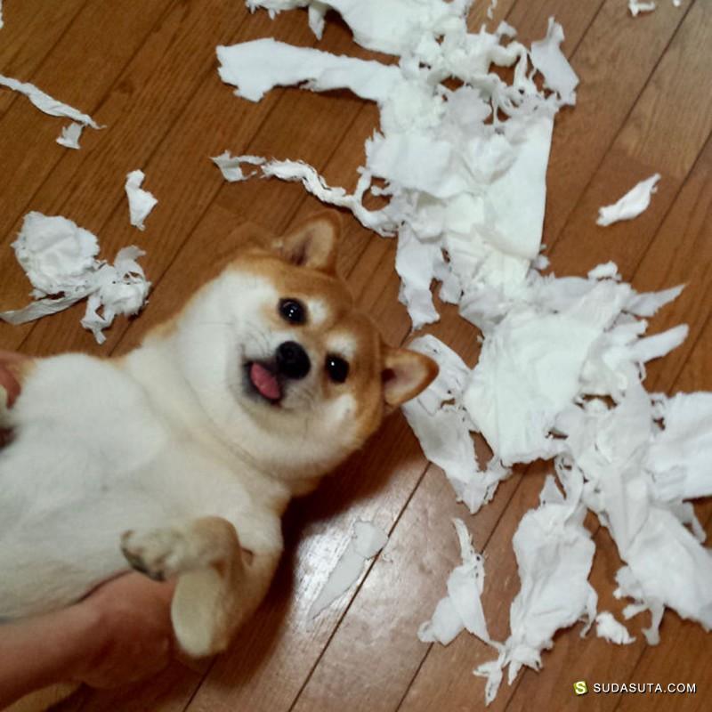 无以伦比的柴犬日记