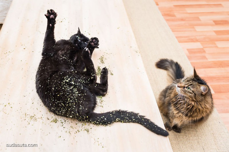 Andrew Marttila 猫咪和猫薄荷