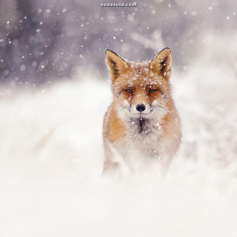 Roeselien Raimond 冬天的白色狐狸