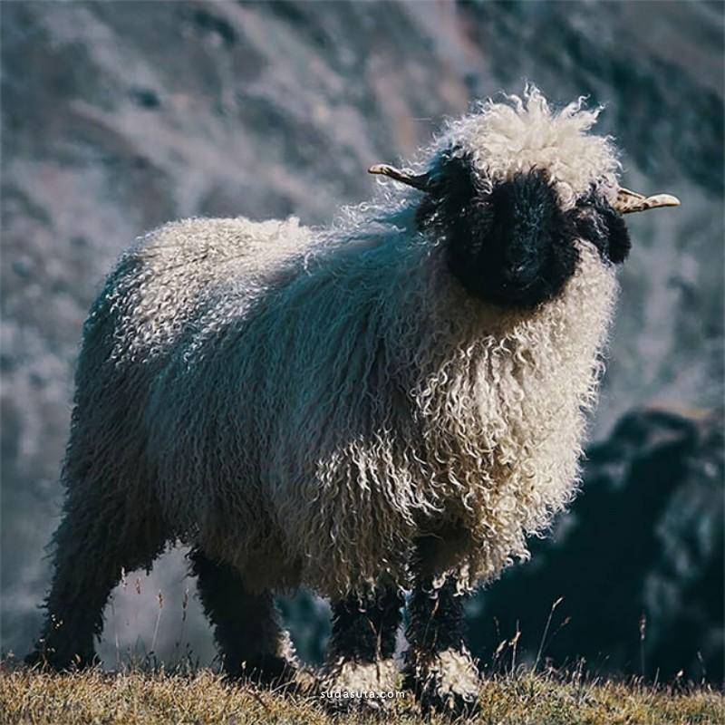 Valais Blacknose 来自瑞士瓦莱州的羊羔