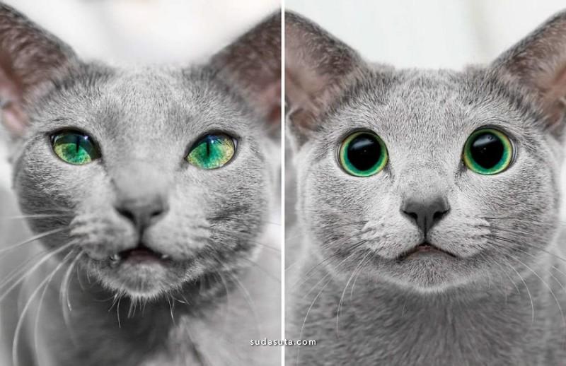 Russian Blue Cats 猫 宠物摄影欣赏
