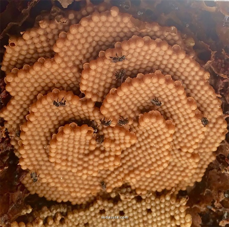 Sugarbag bee 蜂巢的形状
