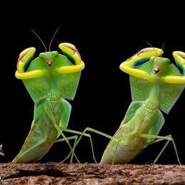 Pang Way 螳螂记 昆虫摄影欣赏