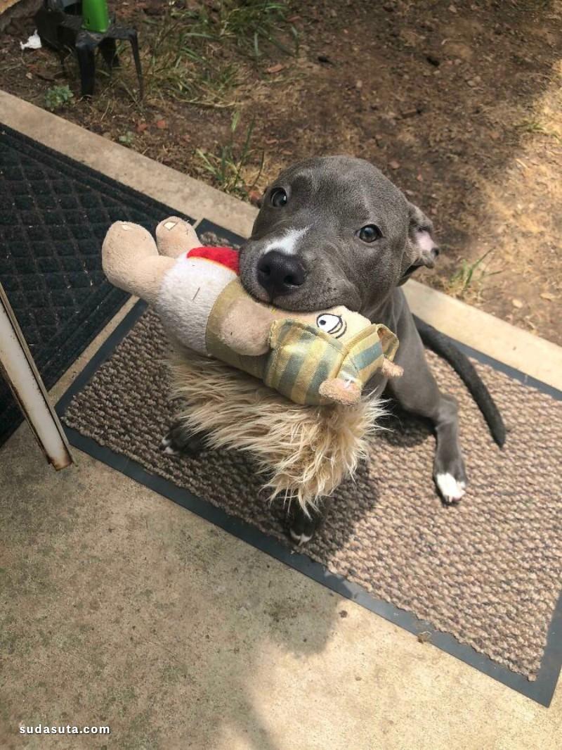狗狗和他们的玩具!可爱的宠物摄影欣赏