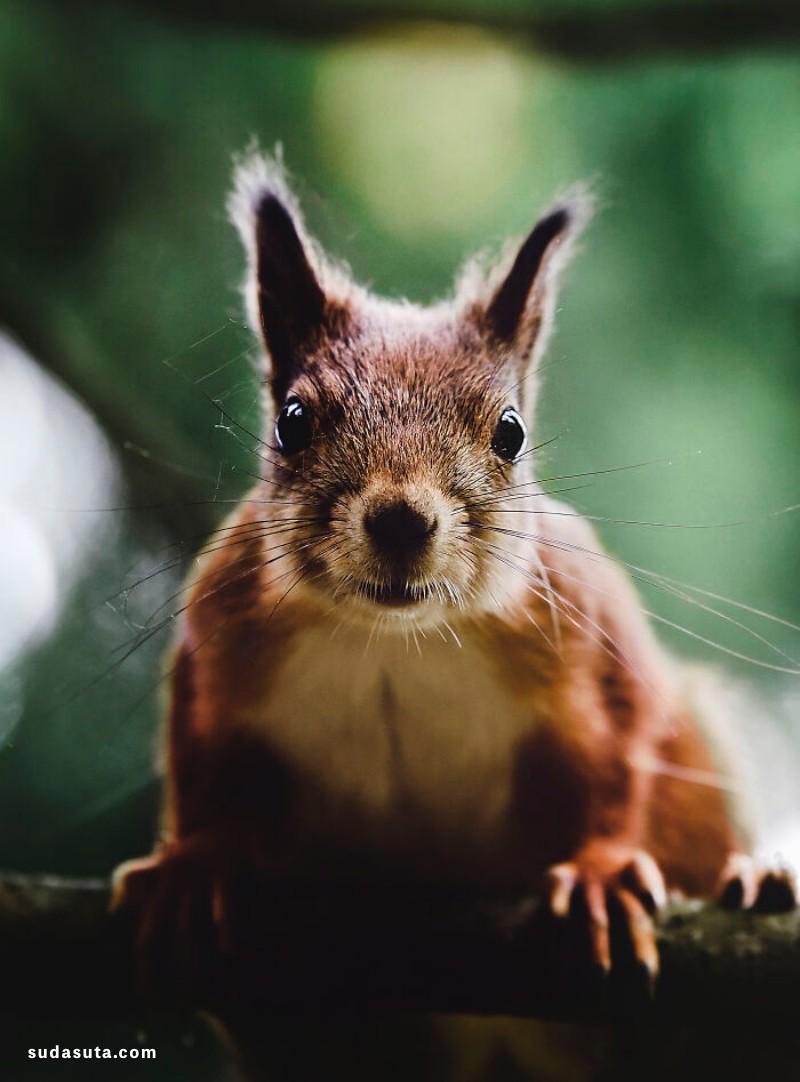 Ian Granström 红色大松鼠